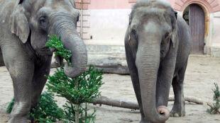 Choinkami karmią słonie