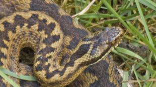 Wynaleziono tanie antidotum na jad węży