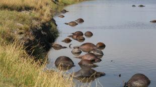 Uciekając przed lwami, wbiegły do rzeki. Utonęło kilkaset bawołów