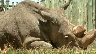 Ostatni samiec ostatnią nadzieją gatunku. Sudan dzielnie walczy z infekcją