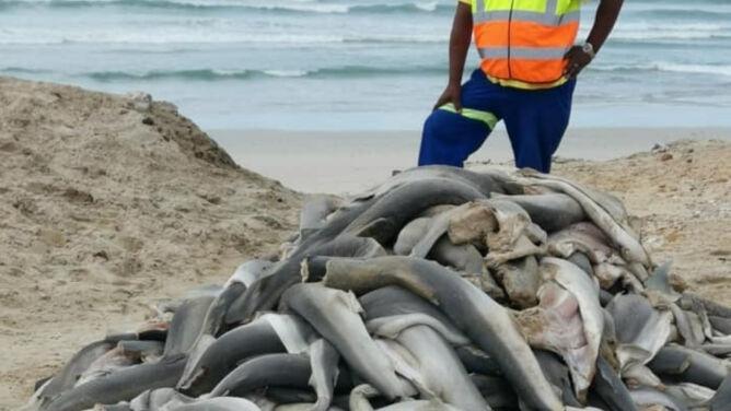 Kilkadziesiąt rekinów bez głów leżało na plaży