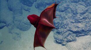 Wampirzyca piekielna w głębinach oceanu