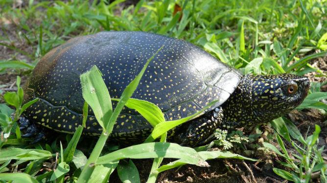 Jedyne polskie żółwie w tarapatach. Ruszyły w drogę, mogą ginąć pod kołami