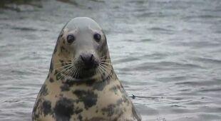Na polskim wybrzeżu jest coraz więcej dzikich fok (Fakty TVN)